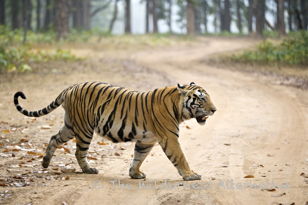 Картинка индийского тигра