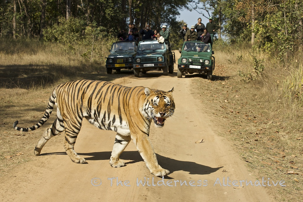 tiger in hindi Watch bengal tiger hindi dubbed movie online hd dvdrip bengal tiger film details: starring - ravi teja, tamannaah bhatia, rashi khanna director - sampath nandi genre - action, comedy, drama movie info .