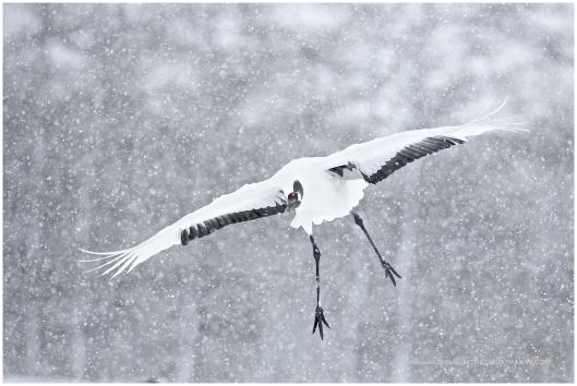 Hokkaido Cranes 11