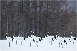Hokkaido Cranes 4