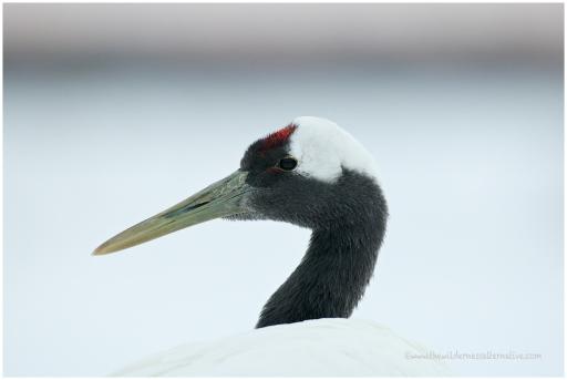 Hokkaido Cranes 6