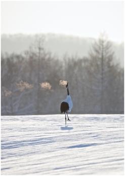 Hokkaido Cranes 8