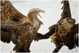 Hokkaido Eagles 19