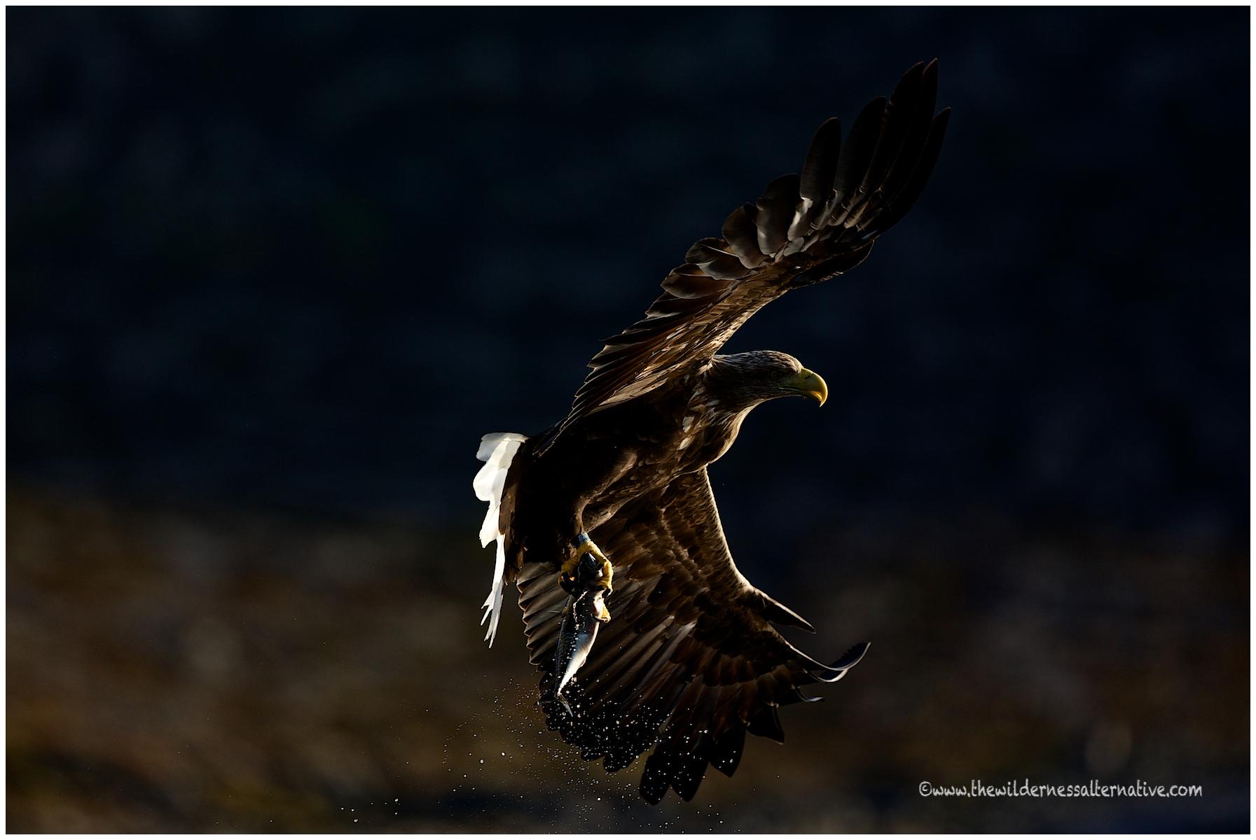 Norway 2012 Flatanger Eagles The Wilderness Alternative