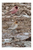 Comparison of 3 male finches (From top : roborowski, sillemi, brandti)