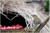 Vogelkop Bowerbird