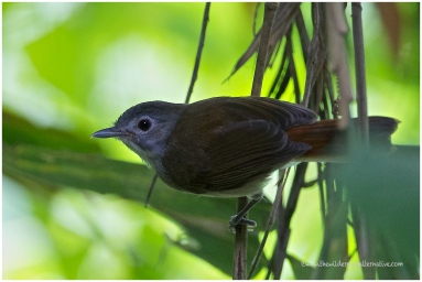 Sooty-capped Babbler