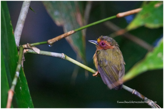 Male Rufous Piculet