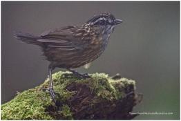 Mountain Wren-babbler (E)
