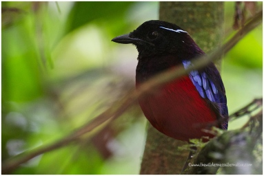 Black-crowned Pitta (E)