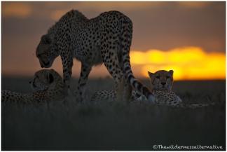 Cheetah 17