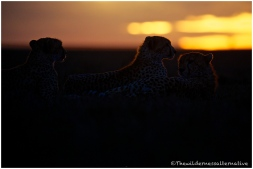 Cheetah 19