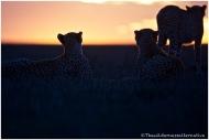 Cheetah 21