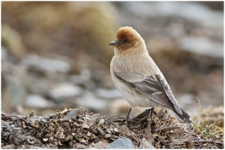 Sillem's Mountain Finch