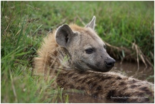 Spotted Hyena @ Mara