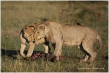 Lions @ Mara