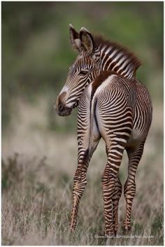 Grevy's Zebra @ Samburu