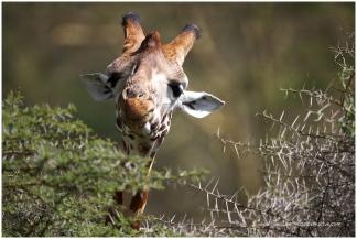 Rotschild Giraffe @ Nakuru