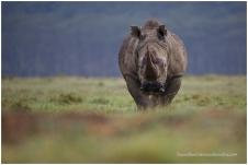 White Rhino @ Nakuru