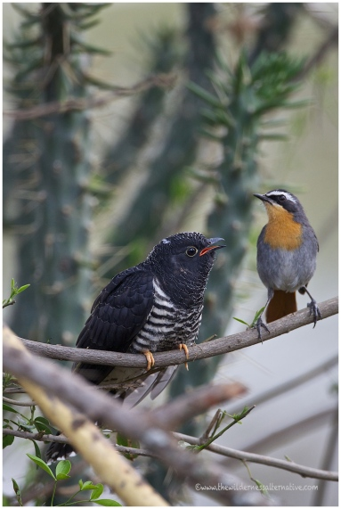 Red-chested Cuckoo (Juv) + Common Robin-chat
