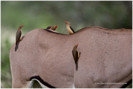 Red-bellied Oxpecker (on Oryx)