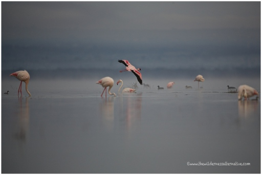 Lesser + Greater Flamingos
